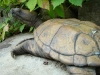 Bronze Snapping Turtle